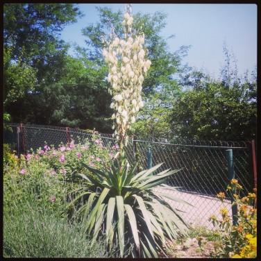 yucca-fleur