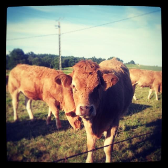 vache aveyron